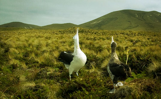 Albatross courtship display.