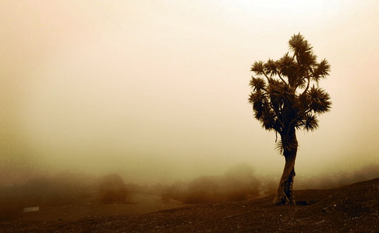 A Cabbage tree in fog.